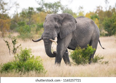 A horizontal, colour image of a large bull elephant, Loxodonta africana, walking through a clearing of dry grass in the Greater Kruger Transfrontier Park, South Africa.