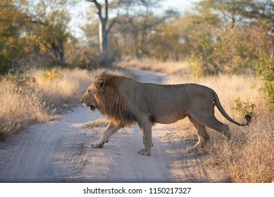 A horizontal, colour image of a large male lion, Panthera leo, crossing a dirt road in the Greater Kruger Transfrontier Park, South Africa.