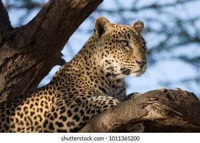 Horizontal colour image of a leopard in a tree taken in Samburu, Kenya