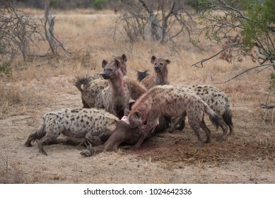 A horizontal, colour image of a pack of hyenas, Crocuta crocuta, red with blood from the kill they have scavenged at Kambaku River Lodge, South Africa.