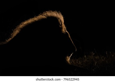 A horizontal, colour image of a sleeping male lion, Panthera leo, his golden mane lit like a halo in the beam of a spot light from behind in the Greater Kruger Transfrontier park, South Africa.