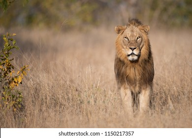 A horizontal, colour image of a striking male lion, Pathera leo, standing in tall dry grass and staring at the camera in the Greater Kruger Transfrontier Park, South Africa.