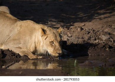 A horizontal, colour image of a sub-adult lion drinking from a muddy pool