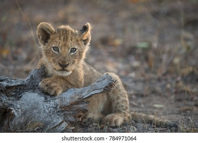 A horizontal, colour image of a tiny spotted lion cub, Panthera leo, resting on a tree stump in golden light and looking at the camera in the Greater Kruger Transfrontier Park, South Africa.