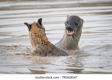 A horizontal, colour image of two spotted hyena, Crocuta crocuta, swimming and play fighting in a deep pool in the Greater Kruger Transfrontier Park, South Africa.