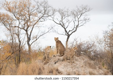A horizontal, colour image of two young cheetah cubs and their mother, Acinonyx jubatus, at the top of a large termite mound in the Greater Kruger Transfrontier Park, South Africa.