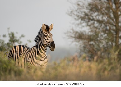 A horizontal, colour image of a zebra, Equus burchellii, standing in side light in the Timbavati Game Reserve, South Africa.