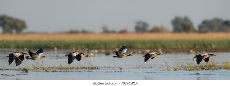 A horizontal, colour panorama photograph of six Egyptian geese, Alopochen aegyptiaca, flying low over shallow water in Chobe National Park, Botswana.