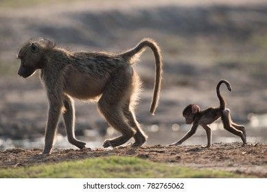 A horizontal, colour photo of a baboon, Papio ursinus, and her young baby walking along the edge of a muddy pool of water in back light in Chobe National Park, Botswana.