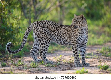 A horizontal, colour photo of a female leopard, Panthera pardus, standing and looking over her shoulder in the Greater Kruger Transfrontier Park, South Africa.