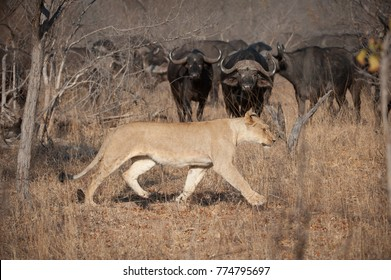 A horizontal, colour photograph of a herd of Cape Buffalo, Syncerus caffer, watching a lioness, Panthera leo, striding across before them in the Greater Kruger Transfrontier park, South Africa.