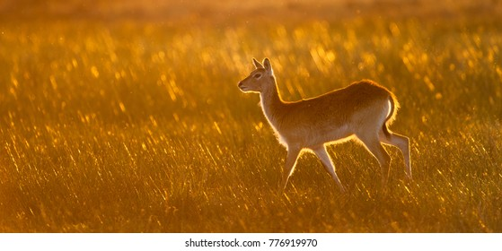 A horizontal, colour photograph of a lechwe, Kobus leche, standing alert in long grass glowing golden in early morning back light in the Okavango Delta, Botswana.