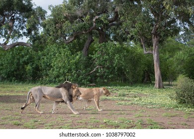 A horizontal, colour photograph of a mating pair of lions, Panthera leo, walking together in Mashatu Game Reserve, Botswana.