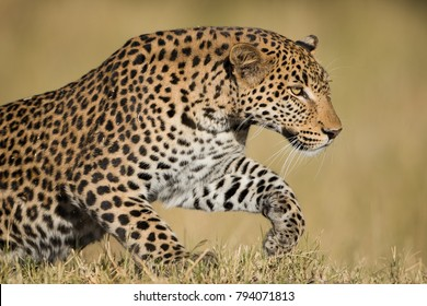 A horizontal, colour photograph of a stunning male leopard, Panthera pardus, getting ready to pounce in golden light in the Okavango Delta, Botswana.