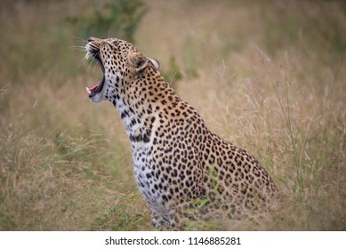 A horizontal, colour photograph of a yawning leopard, Panthera pardus, sitting in long dry grass in Djuma private game reserve, South Africa.
