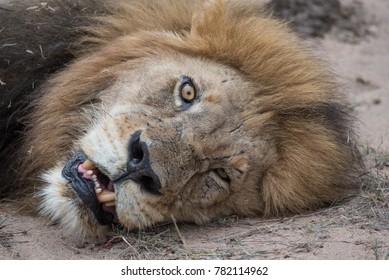 A horizontal, cropped, clowe up, colour photograph of a male lion, Panthera leo, lying on the ground staring into the camera, mouth open, in the Greater Kruger Transfrontier Park, South Africa