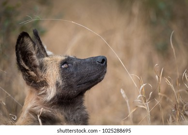 A horizontal, cropped, colour image of an African wild dog, Lycaon pictus, staring up from its resting place in long dry grass in the Timbavati Game Reserve, South Africa.
