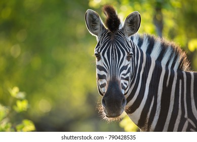 A horizontal, cropped, colour image of a zebra, Equus burchellii, facing the camera in back light against a vivid green background in the Greater Kruger Transfrontier Park, South Africa.