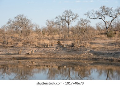 A horizontal, distant, colour image of a pride of lions, Panthera leo, reflected in the dwindling water hole they are resting beside in the Greater Kruger Transfrontier Park, South Africa.