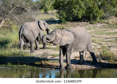 A horizontal, distant colour image of two elephant bulls, Loxodonta africana, at a waterhole in the Sabi Sands Game reserve, South Africa.