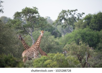 A horizontal, distant image of a herd of a giraffe, Giraffa camelopardalis, standing in dense bush looking at the camera in the Timbavati Game Reserve, South Africa.