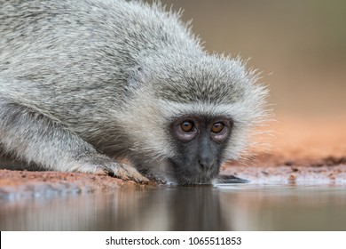 A horizontal, extreme close up colour image of a vervet monkey, Cercopethecus aethiops, drinking from a still pool in Karongwe Game Reserve, South Africa.