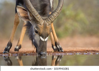 A horizontal, extreme close-up, surface level, colour image of a nyala bull, Tragelaphus angasii, drinking at a water hole at a hide in Karongwe Game Reserve, South Africa.