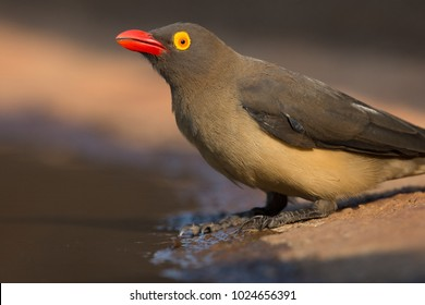 A horizontal, extreme close-up, surface level, colour image of a red-billed oxpecker, Buphagus erythrorhynchus, beside a water hole at a hide in Karongwe Game Reserve, South Africa.