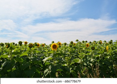 Horizontal Field of Sunflowers on a Bright Summer Day