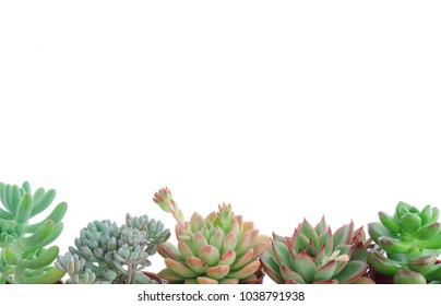 Horizontal Frame of Various Types of Flowering Echeveria Succulent Plants White Background