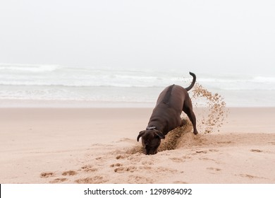 Horizontal front facing view of a brown adult dog at the beach digging a hole in the sand with sand in the air behind him and soft ocean waves in the background