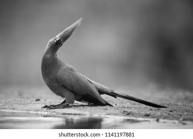 A horizontal, full length, black and white image of a grey go-away bird, Corythaixoides concolor, at a shallow pool with its crest up and head tilted, and Indlovu River Lodge, South Africa.