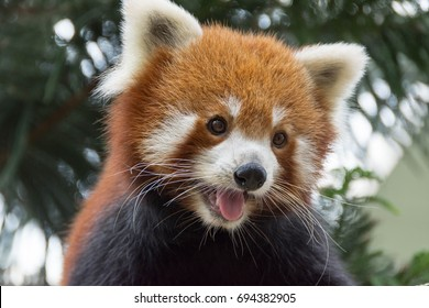 Horizontal full length Closeup shot Red panda bear playing on a tree trunk. Face of a red panda bear showing its tongue