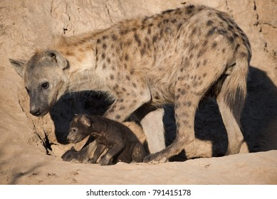 A horizontal, full length, color photo of a spotted hyena, Crocuta crocuta, and her tiny black pup at the entrance to their sandy den
