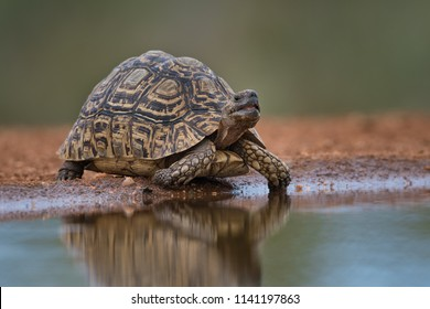 A horizontal, full length, colour image of a leopard tortoise, Geochelone pardalis, drinking at a still waterhole in the Karongwe conservancy, South Africa.
