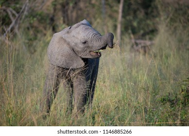A horizontal, full length, colour image of a young elephant calf, Loxodonta africana, learning to use its trunk to eat grass, at Djuma Private Game Reserve, SOuth Africa