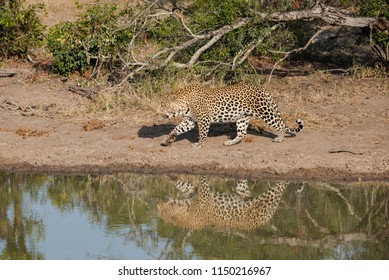 A horizontal, full length, colour image of a large male leopard, Panthera pardus, walking along the edge of a still pool of water in Djuma Private Game Reserve, South Africa.