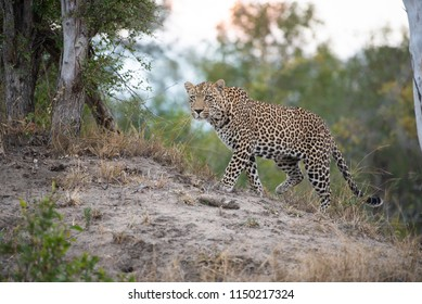 A horizontal, full length, colour image of a leopard, Panthera pardus, on a dry, grassy rise, stalking prey at Djuma Private Game Reserve, South Africa.