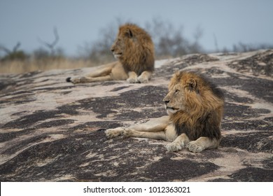 A horizontal, full length, colour photo of two male lions, Panthera leo, resting on a large rock in the Greater Kruger Transfrontier Park, South Africa.
