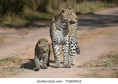 A horizontal, full length colour photograph of a leopardess, Panthera pardus, walking alongside her young, fuzzy, blue-eyed cub in sunlight on the Greater Kruger Transfrontier Park, South Africa.