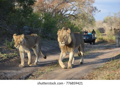 A horizontal, full length,  colour photograph of a male lion, Panthera leo, walking alongside a lioness and a game viewer further behind in the Greater Kruger Transfrontier Park, South Africa.