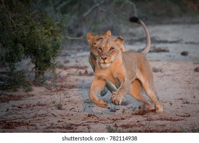 A horizontal, full length, colour photograph of two lionesses, Panthera leo, mid-chase in a dry river bed towards the camera on a hunt in the Greater Kruger Transfrontier Park, South Africa.