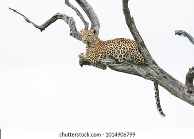 A horizontal, full length, low angle colour photo of a leopard, Panthera pardus, resting in a dead tree against a white background in the Greater Kruger Transfrontier Park, South Africa.