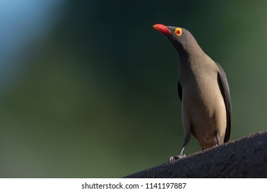 A horizontal, high angle, full length, colour image of a red-billed oxpecker, Buphagus erythrorhynchus, perched on a low wall in side light at Indlovu River lodge, South Africa.