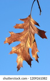 Horizontal high contrast close -up image in full length of an autumn colored Quercus rubra (syn. Quercus borealis, northern red oak or champion oak, Roteiche) leaf with bright blue sky in background