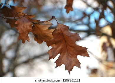 Horizontal high contrast close -up image in full length of an autumn colored Quercus rubra (syn. Quercus borealis, northern red oak or champion oak, Roteiche) leaves with bright blue sky in background