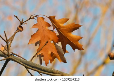 Horizontal high contrast close -up image in full length of an autumn colored Quercus rubra (syn. Quercus borealis, northern red oak or champion oak, Roteiche) leaves, acorns and acorn cups on a branch