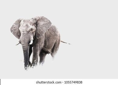 A horizontal high key photograph of an Elephant bull in Pilanesberg National Park in South Africa.