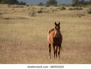 Horizontal image of brown horse standing in golden brown field looking towards the camera.