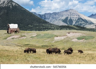 horizontal image of buffalo roaming the fields with an old covered wagon sitting in the distance with large mountains in the background on a warm summer day.